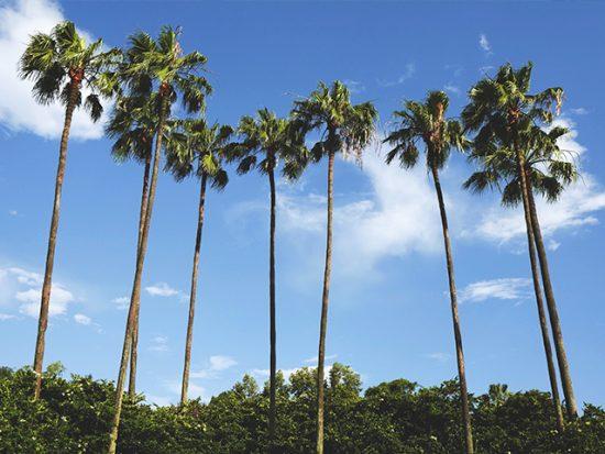 Palm Trees Orlando Florida Sunny Day