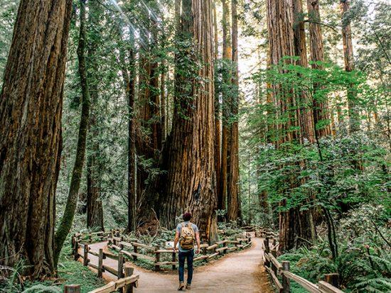 Man Walking in Redwood Forest