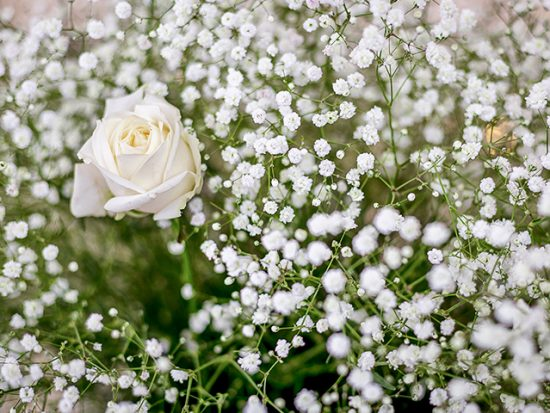 A field of small white flowers and a single rose.