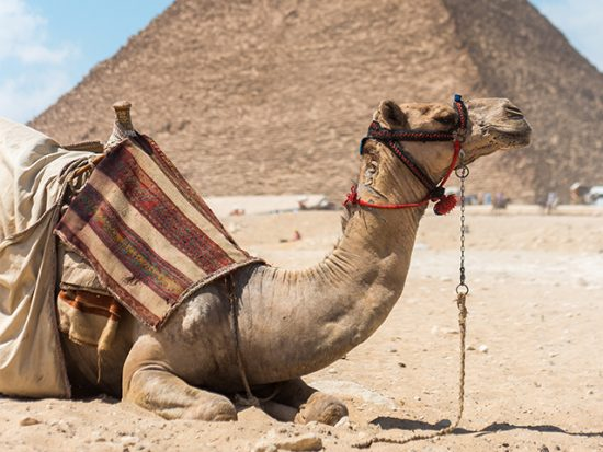 Camel in Egypt in front of a pyramid in the desert.