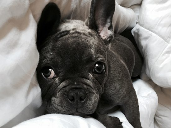 French Bulldog laying in bed.