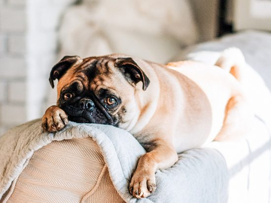 Pug lying on the back of a couch.