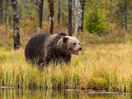 Brown Bear in Alaska.